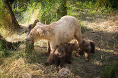Alaskan brown bear sow with three cubs Stock Images