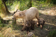 Alaskan brown bear sow with three cubs Royalty Free Stock Images
