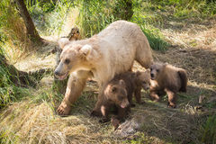 Alaskan brown bear sow with three cubs Stock Photos