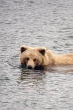 Alaskan brown bear swimming in a pond Stock Photo