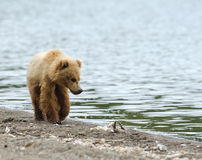 Alaskan brown bear walking along the shore Royalty Free Stock Photography