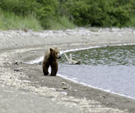 Alaskan brown bear walking along the shore Stock Photos