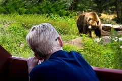 Child watching Big Brown Bear in a zoo. Dangerous, friendly royalty free stock photo