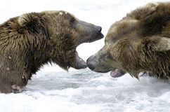 Alaskan brown bears fighting Royalty Free Stock Photography