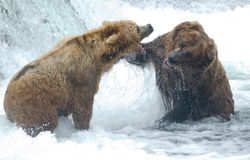 Alaskan brown bears fighting. Two Alaskan brown bears fight at Brooks Falls in Katmai National Park royalty free stock images