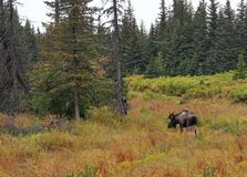 Alaskan bull moose in fall Stock Image