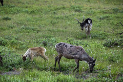 Alaskan Caribou Stock Photos