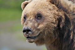 Alaskan Coastal Brown Bear Stock Image