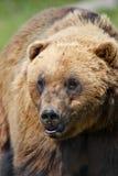 Alaskan Coastal Brown Bear Stock Photo