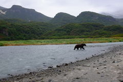 Alaskan Coastal Brown Bear, Katmai Royalty Free Stock Photography
