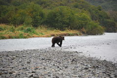 Alaskan Coastal Brown Bear Royalty Free Stock Images