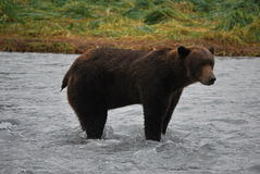 Alaskan Coastal Brown Bear Stock Image