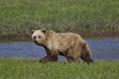 Alaskan Coastal Brown Bear Royalty Free Stock Photography