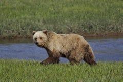 Alaskan Coastal Brown Bear Royalty Free Stock Photography