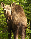 Alaskan Cow Moose Stock Photography