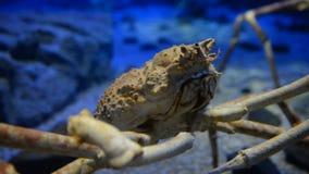 Alaskan crab in aquarium stock footage
