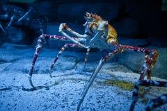 Alaskan crab specimen in underwater tank Stock Image