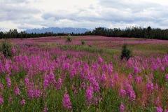 Alaskan da paisagem com flores e montanhas foto de stock