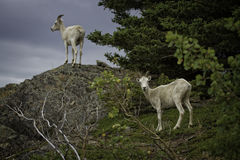 Alaskan Dall Ewe. An Alaskan Dall Ewe stands on a cliff on a cold fall day Stock Image