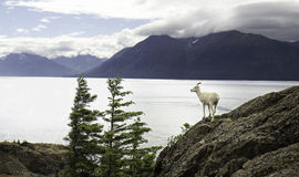 Alaskan Dall Ewe. An Alaskan Dall Ewe stands on a cliff on a cold fall day Royalty Free Stock Image