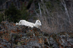 Alaskan Dall Sheep. Near Girdwood on Turnagain Arm Alaska May 2017 stock image