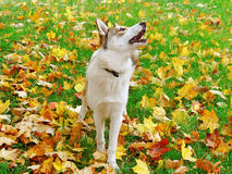 Alaskan dog. Stock Photography
