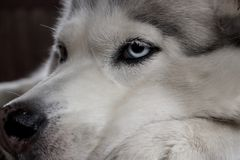 Free Alaskan Dog Husky Face Close Up With Blue Eyes. Canine Face Portrait. Stock Images - 105295664