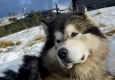 Alaskan (Eskimo) Malamute Stock Image