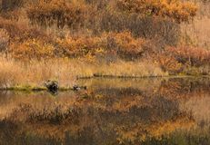 Fall colors in Alaska. Alaskan fall colors fill the scene as a still pond reflects the bright hues of the foliage royalty free stock photography