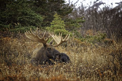 Alaskan Fall Moose Stock Photos