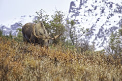 Alaskan Fall Moose Stock Photo