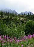 Alaskan Fireweed Royalty Free Stock Image
