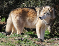 Alaskan Gray Wolf Profile. An Alaskan gray wolf searches his territory for food or threats Royalty Free Stock Photos