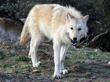 Alaskan Gray Wolf Threatening. An Alaskan gray wolf shows his teeth in warning Stock Photos