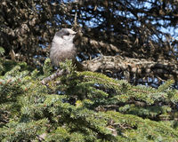 Alaskan Grey Jay on a spruce branch Royalty Free Stock Images