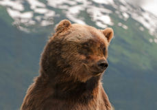 Alaskan Grissly bear Stock Photography