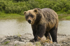 Alaskan Grizzly Bear Royalty Free Stock Photography