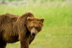 Alaskan Grizzly Bear Stock Images
