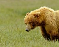 Alaskan Grizzly Bear Royalty Free Stock Image