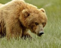 Alaskan Grizzly Bear Royalty Free Stock Photos