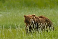 Alaskan Grizzly Bear Stock Image