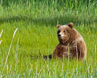Alaskan grizzly bear cub Stock Photos