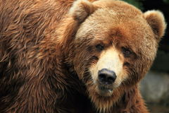 Alaskan grizzly bear. The detail of Alaskan grizzly bear stock images