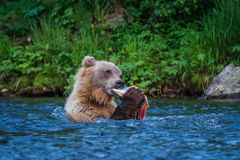 Alaskan Grizzly. A Grizzly Bear feeds on a salmon carcass in an Alaskan stream Stock Photography