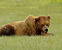 Alaskan Grizzly Bear Growling Royalty Free Stock Photos