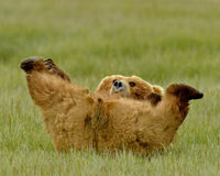 Alaskan Grizzly Bear Playing Stock Images