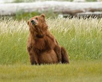 Alaskan Grizzly Bear Playing Stock Photo
