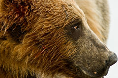 Alaskan Grizzly Bear Portrait Royalty Free Stock Photography