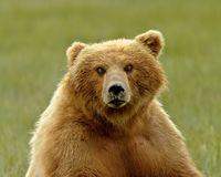 Alaskan Grizzly Bear Portrait Stock Photography