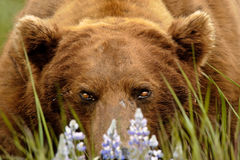 Alaskan Grizzly Bear Portrait Stock Image